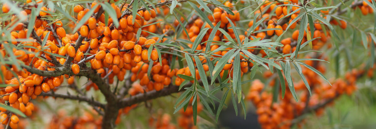 Homoktövis fa terméssel