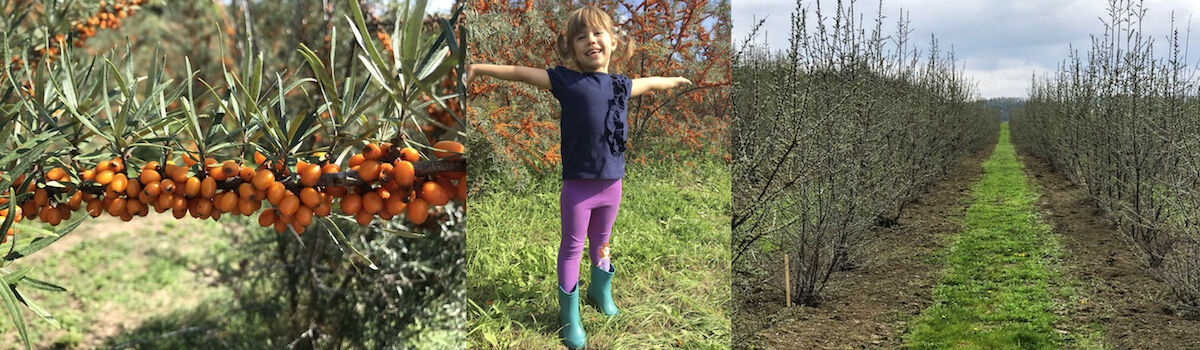 Homoktövis ültetvényen készült fotók egymás mellett